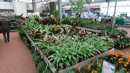 Calathea table